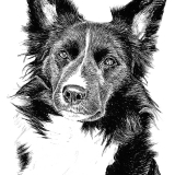 Min, Border Collie, Sketchporträtt