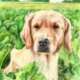 Gilla, Golden Retriever